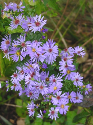 Aster laevis Smooth Aster