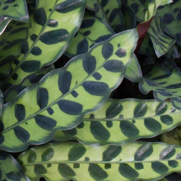 Rattlesnake Plant Calathea lancifolia