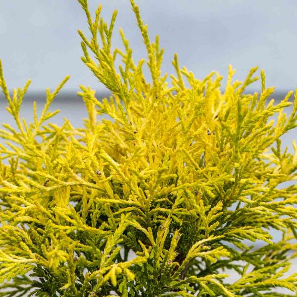 Chamaecyparis Golden Mop False Cypress