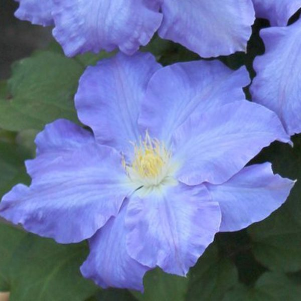 Clematis Blue Jeanne