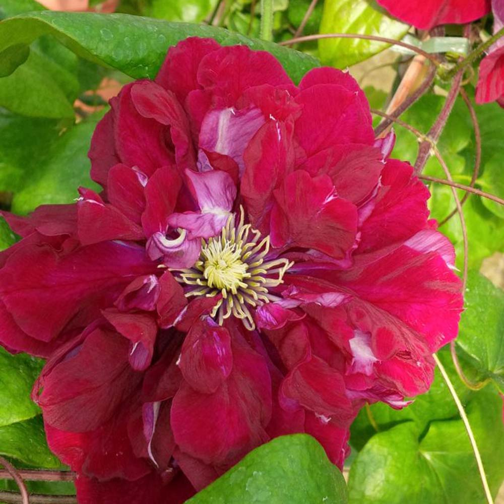 Clematis Charmaine