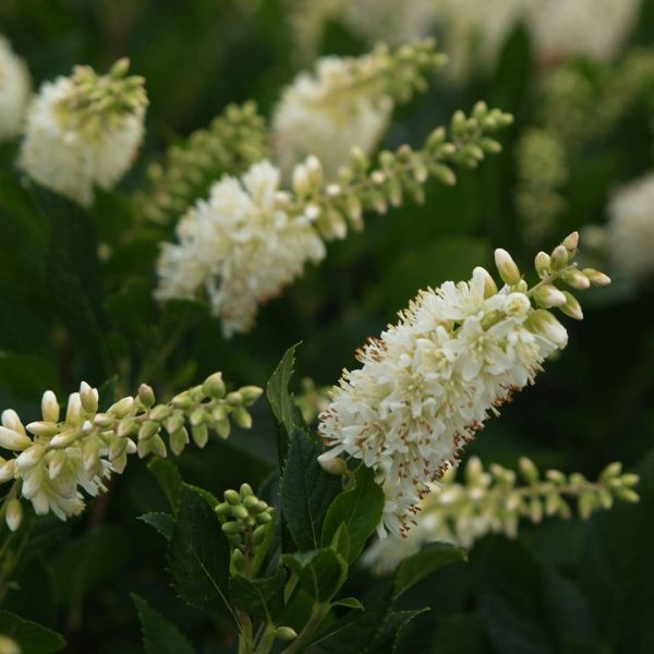 Clethra Sugartina, Summersweet