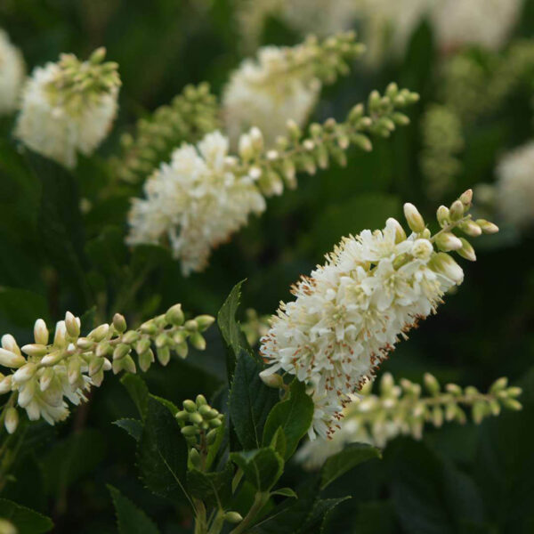 Clethra Sugartina Crystalina, Summersweet