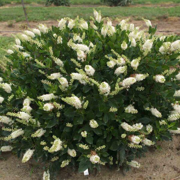 Clethra Sugartina Crystalina