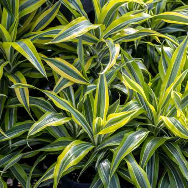 Dracaena Lemon Lime