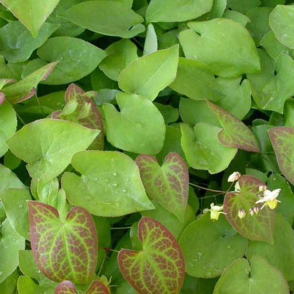 Epimedium Sulphureum Barrenwort