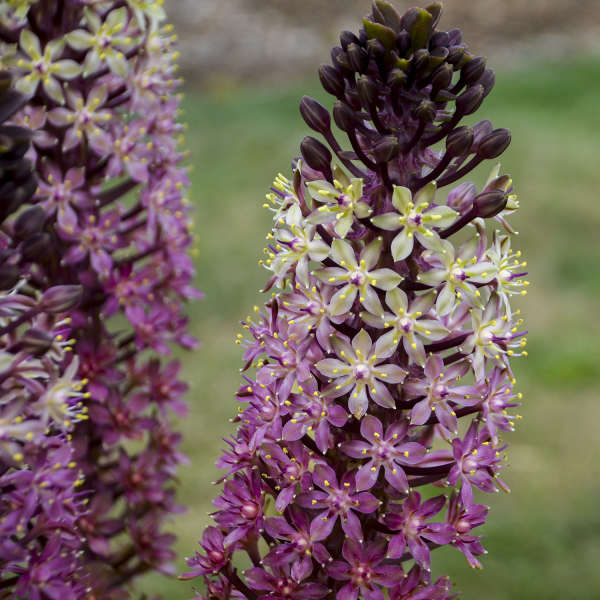 Eucomis Safari Adventure