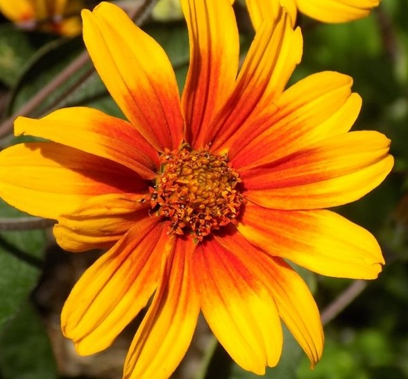 Heliopsis Burning Hearts Oxeye Sunflower