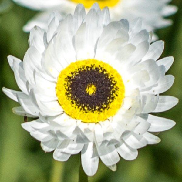 Paper Daisy Pierrot White – Helipterum