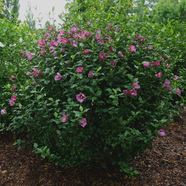 Hibiscus Lil' Kim Red, Rose of Sharon