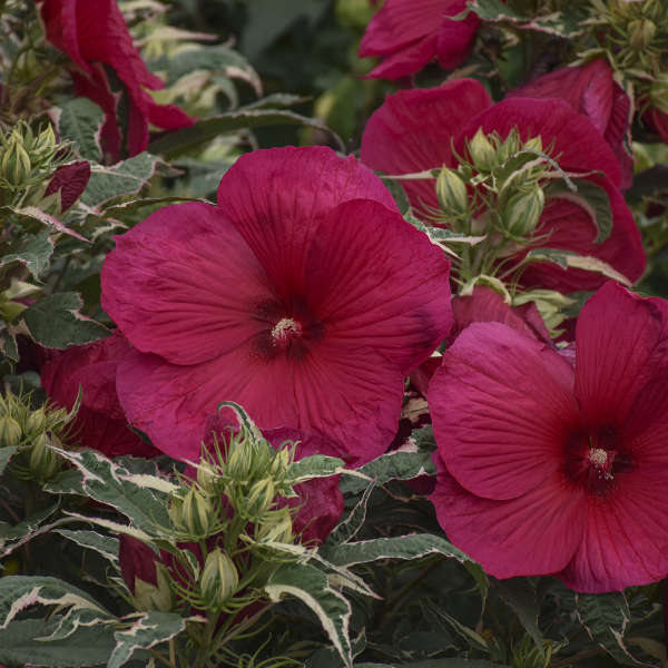Hibiscus Summer Carnival Rose Mallow