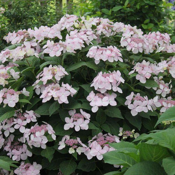 Hydrangea macrophylla Diva!, Bigleaf Hydrangea
