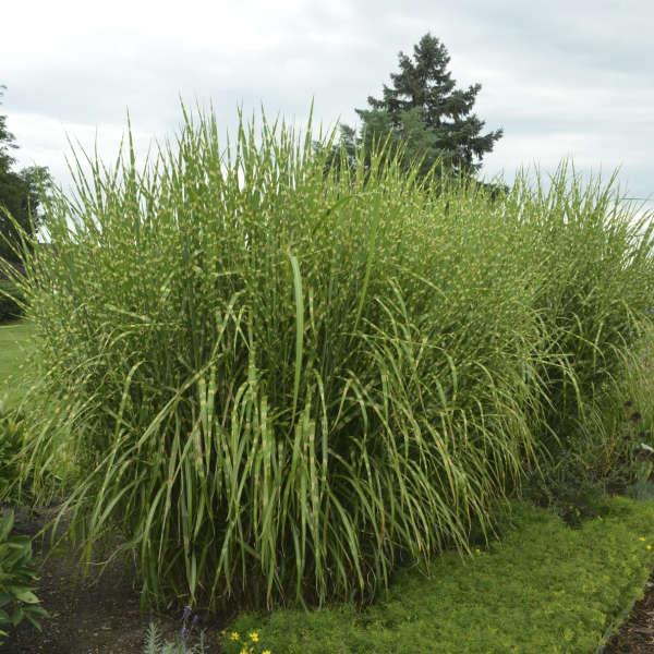 Miscanthus Strictus Porcupine Grass