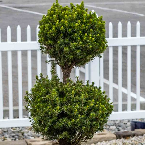 Picea Dwarf Alberta Spruce 3 Tier Poodle Topiary