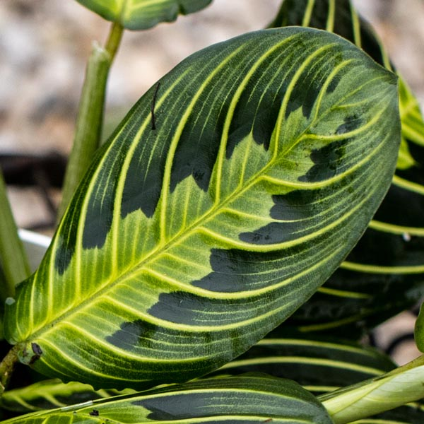 Prayer Plant Lemon Lime Maranta