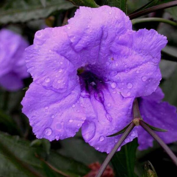 Mexican Petunia Purple Showers, Ruellia