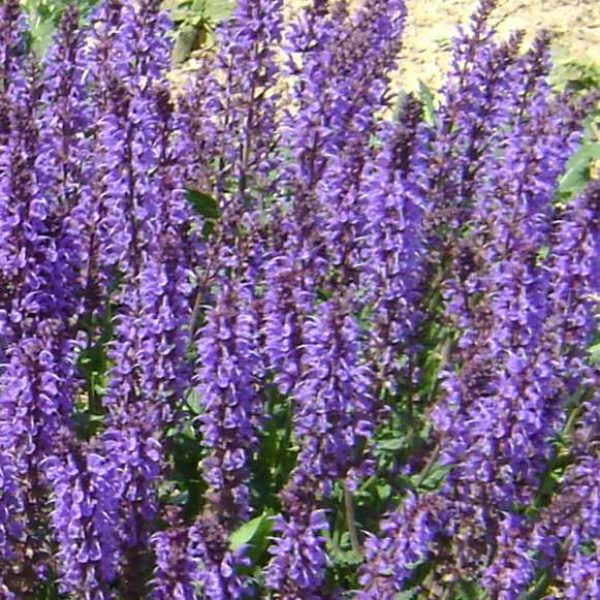 Salvia Blue By You Sage