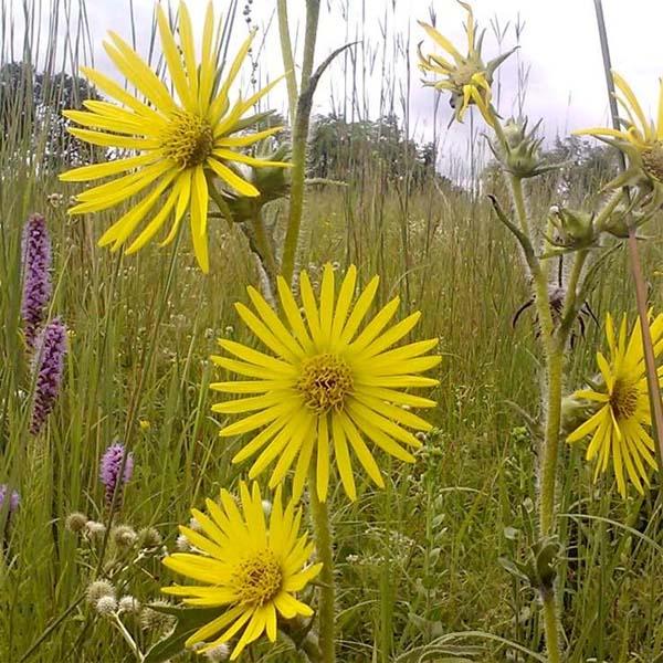 Silphium lacianatum Compass Plant flower