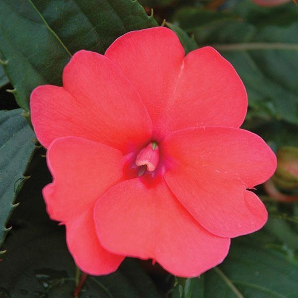 Sunpatiens Compact Deep Rose