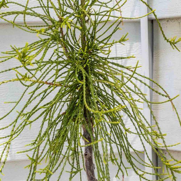 Thuja Frankie Boy Chinese Arborvitae Topiary