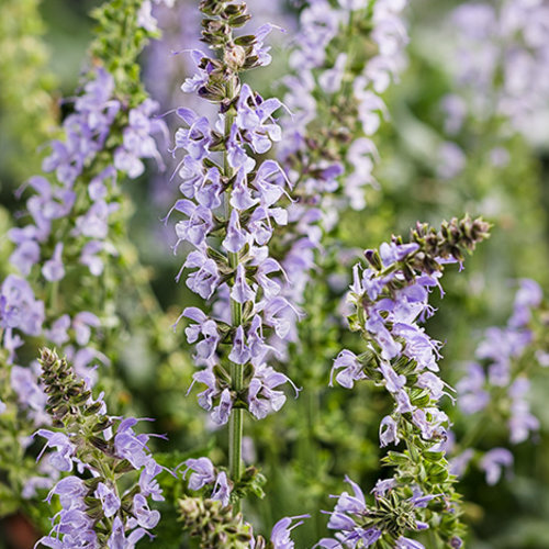Salvia Color Spires Crystal Blue Sage