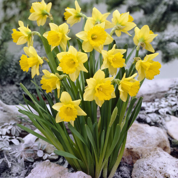Daffodil Rijnveld's Early Sensation - 5 Bulbs