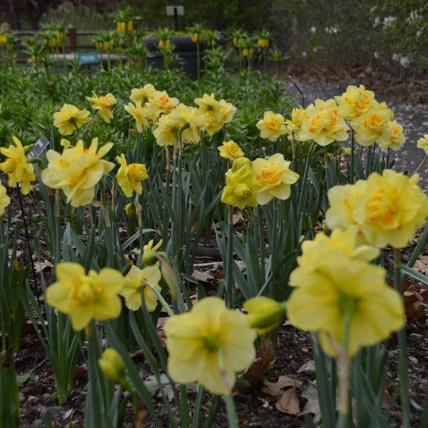 Daffodil Tahiti – 5 Bulbs Preorder