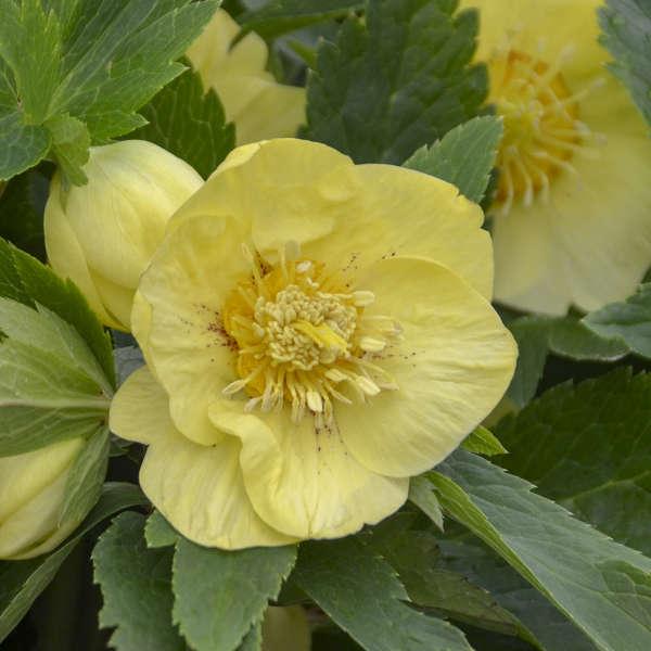Helleborus California Dreaming Lenten Rose