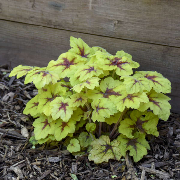 Heucherella Catching Fire Foamy Bell