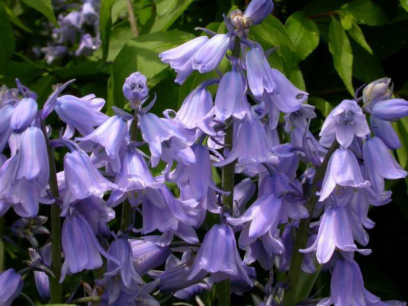 Hyacinthoides hispanica Spanish Bluebells
