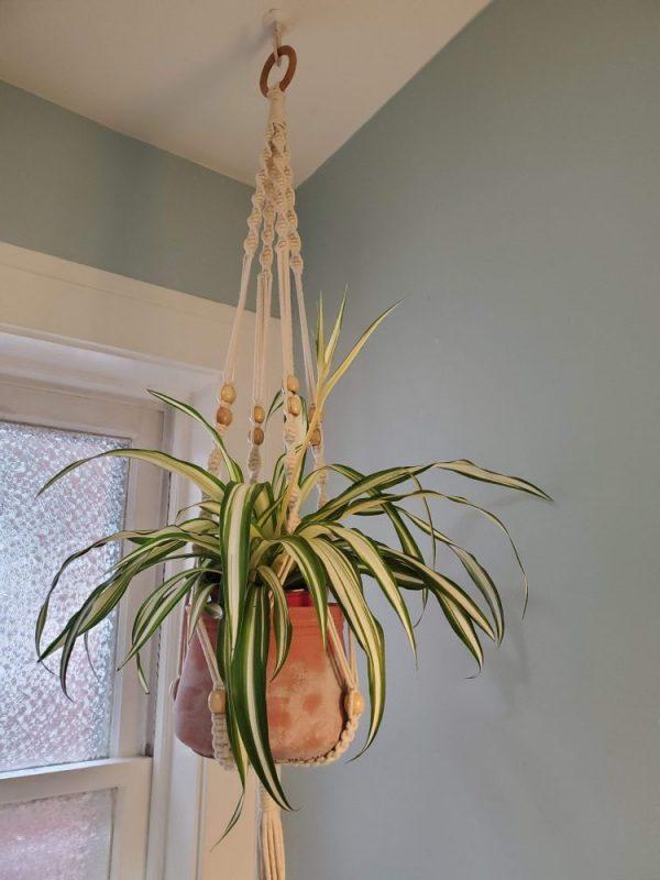 Spider Plant Vittatum