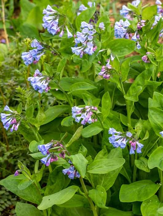 Mertensia virginica Virginia Bluebells