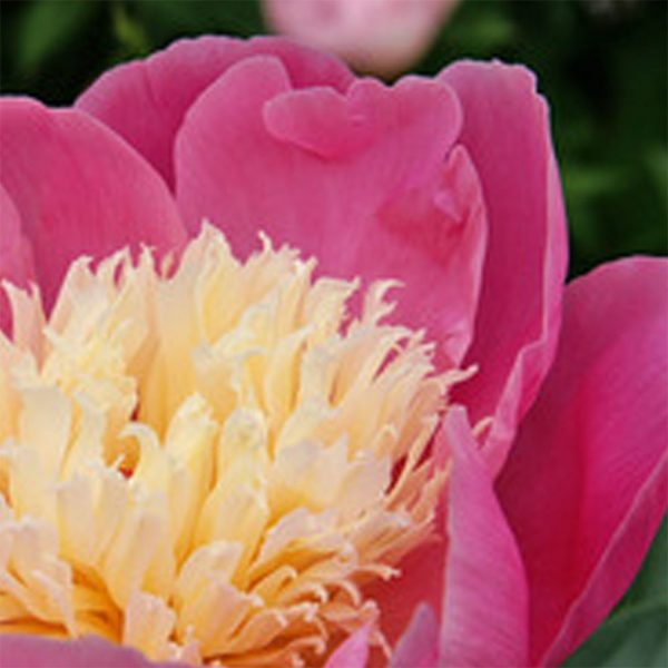 Paeonia Bowl of Beauty Peony – Fresh Dug Roots for Fall Planting