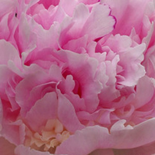 Paeonia Eden's Perfume – Fresh Dug Roots for Fall Planting Preorder