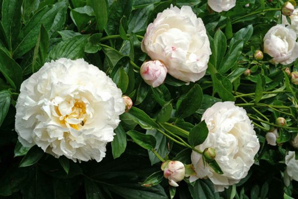 Paeonia Gardenia Peony