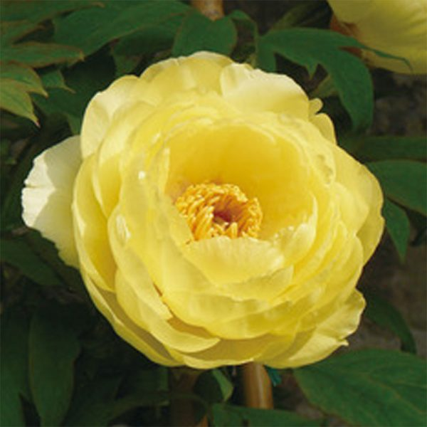 Paeonia High Noon Tree Peony – Fresh Dug Roots for Fall Planting Preorder