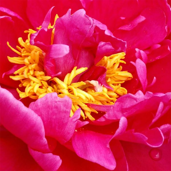Paeonia Karl Rosenfield – Fresh Dug Roots for Fall Planting Preorder