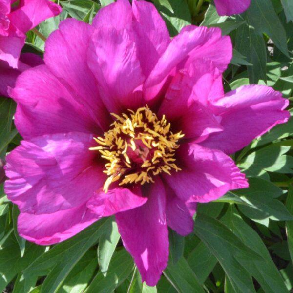 Paeonia Moning Lilac Itoh Peony