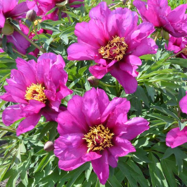 Paeonia Morning Lilac Itoh Peony – Fresh Dug Roots for Fall Planting Preorder