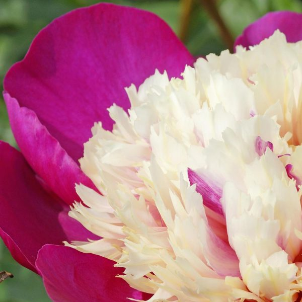 Paeonia White Cap Peony