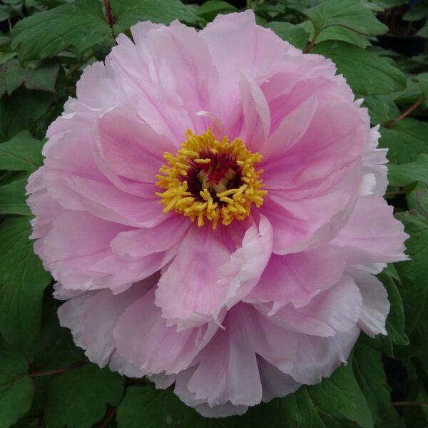 Peony-suffruticosa-Hanakisoi-Pink