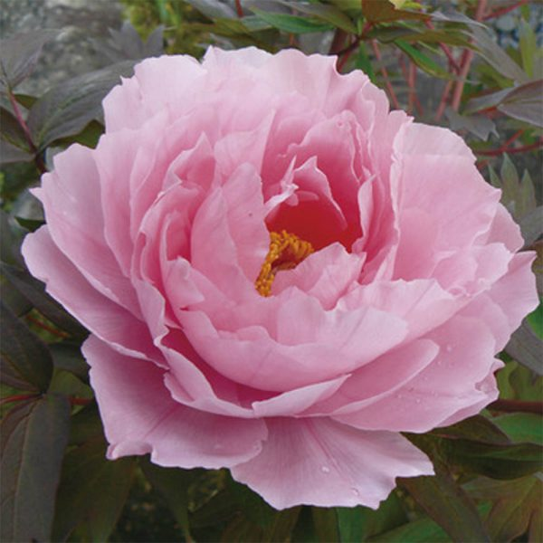 Paeonia Hanakisoi Pink Tree Peony – Fresh Dug Roots for Fall Planting