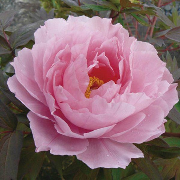 Paeonia Hanakisoi Pink Tree Peony