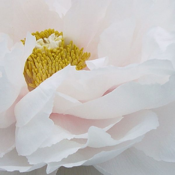 Paeonia Renkaku or White Tree Peony – Fresh Dug Roots for Fall Planting