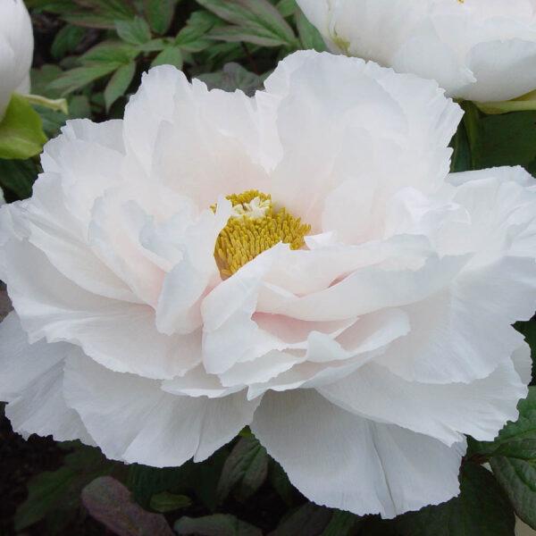 Peony-suffruticosa-Renkaku-White
