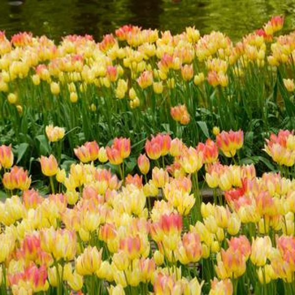 Tulip Antoinette – 8 Bulbs Preorder