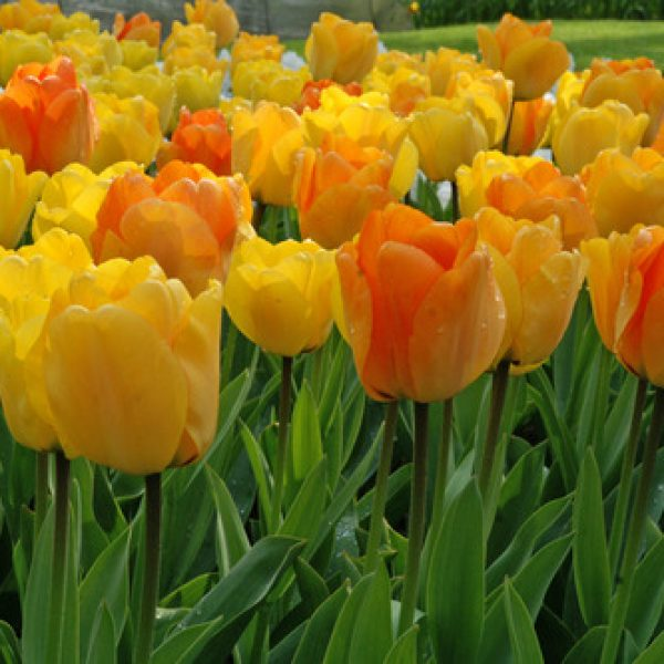 Tulip Daydream – 8 Bulbs Preorder