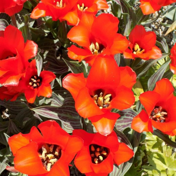 Tulip Red Riding Hood – 8 Bulbs Preorder