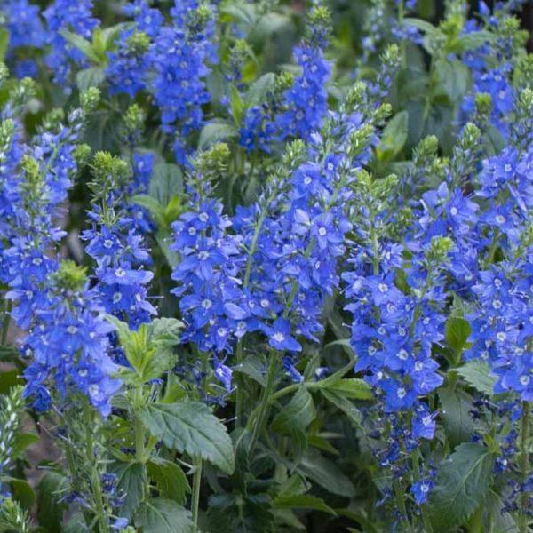 Veronica Venice Blue