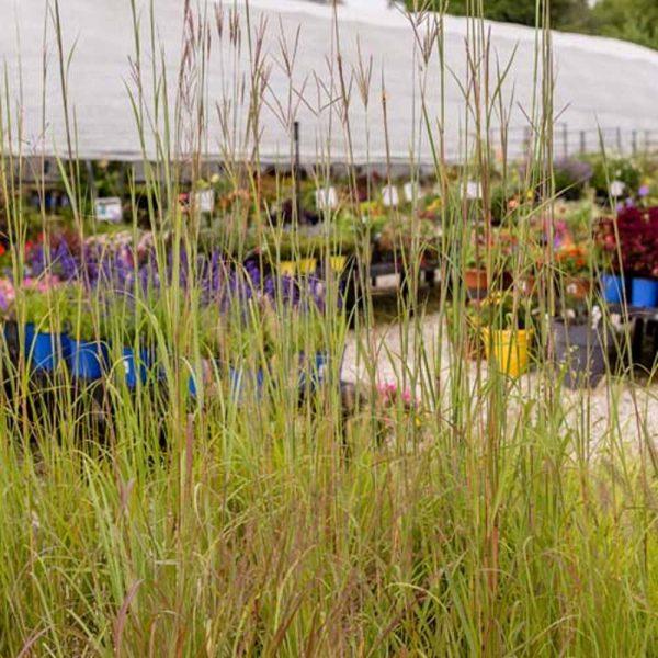 Andropogon garardii Big Blue Stem Grass
